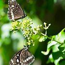 Butterflies Working Hard by Richie Wessen