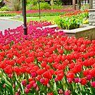 Tulpen in unserem Garten von Shulie1
