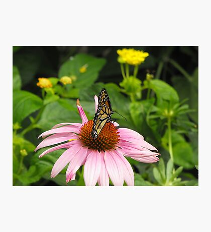 Monarch on pink flower Photographic Print
