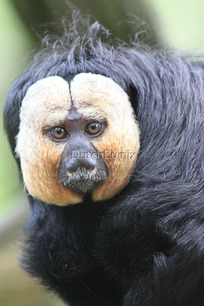White-faced Saki (Male) by DutchLumix