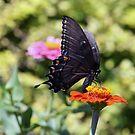 Black Swallowtail Butterfly by kkphoto1