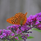 Silver Washed Fritillary by relayer51