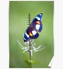 Wings - common eggfly butterfly Poster