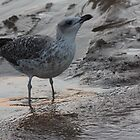 Seagull 1162 by João Castro