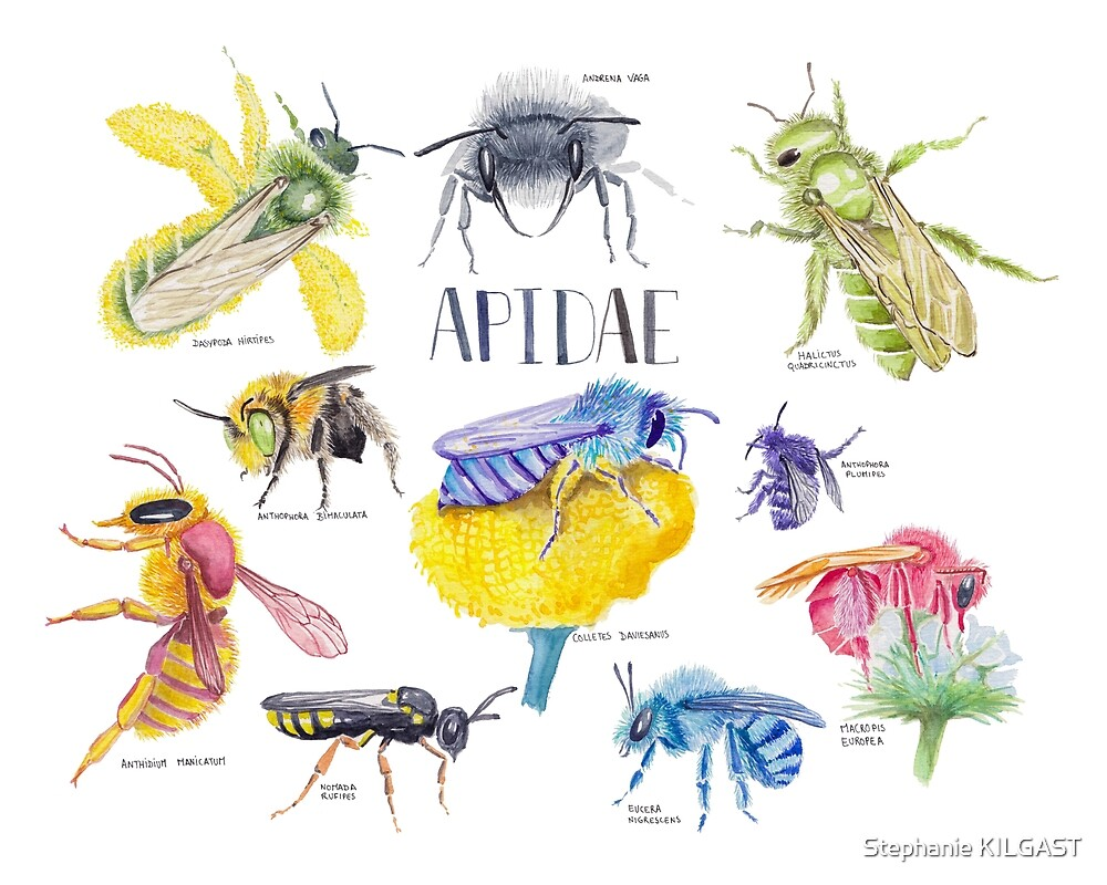 Wild Bees Illustration | Apidae Watercolor / Aquarelle Painting by Stephanie KILGAST