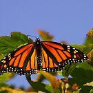 Monarch by AlGrover