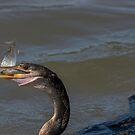 Anhinga fängt einen anderen Fisch von TJ Baccari Photography