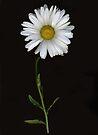 Shasta Daisy by Barbara Wyeth
