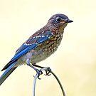 Juvenile Eastern Bluebird by Bonnie T.  Barry