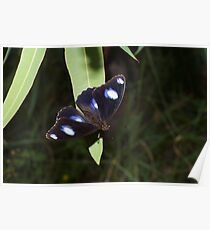 Common Eggfly Poster