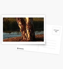 Glowing tree trunk Postcards