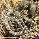 Rattlesnake love by Dave Sandersfeld