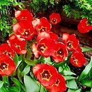 Mehr Tulpen von Shulie1