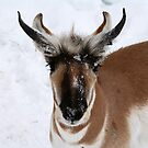 THE PRONGHORN by Larry Trupp