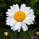 Daisy by Kirsten Baiden-Amissah