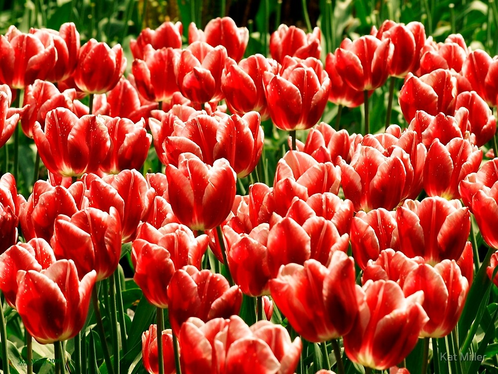 Field of Red and White Tulips by Kat Miller