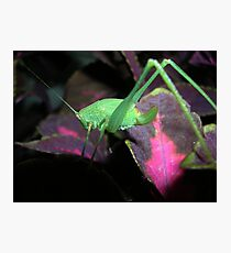 Baby orthoptera Photographic Print