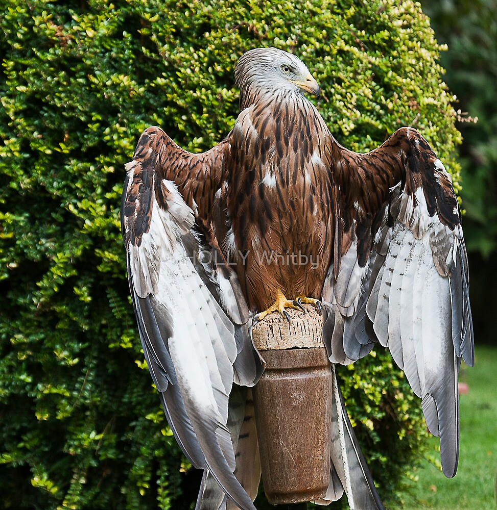 Black Kite, feeling the warmth on his feathers  by Elaine123