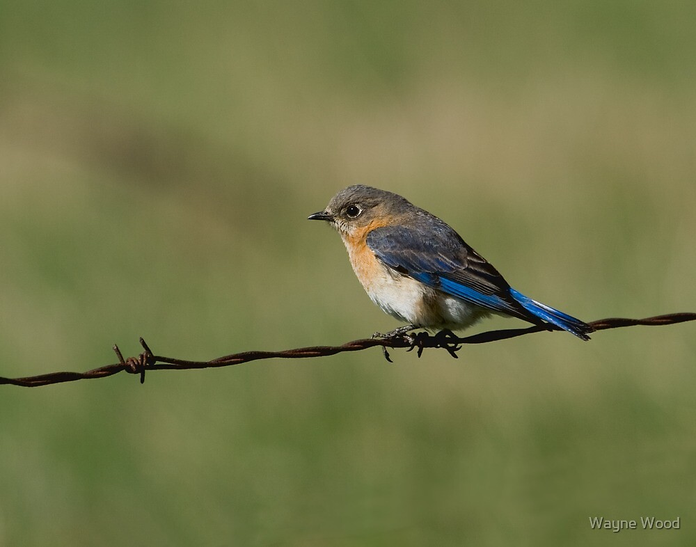 Eastern Bluebird (female) by Wayne Wood