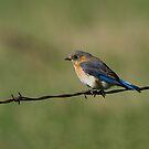 Eastern Bluebird (female) by Wayne Wood