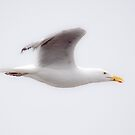 Seagull In Flight by Jim Haley