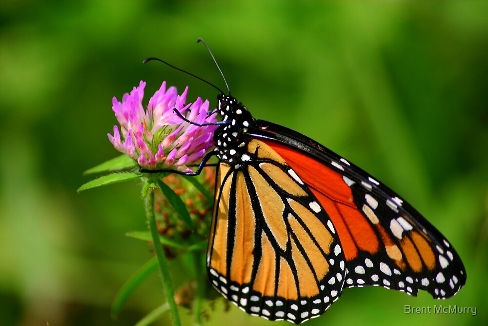 Monarch by Brent McMurry