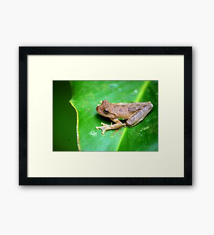 Drab Treefrog (Smilisca sordida) - Costa Rica Framed Print