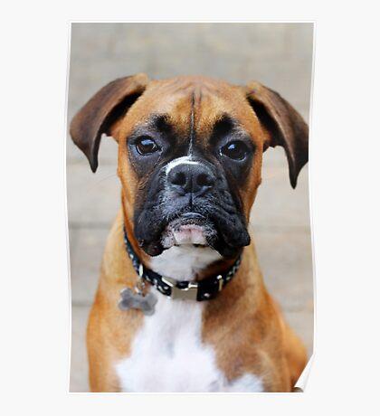 Boxer-Porträt - Boxer-Hundeserie Poster