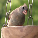 Young Female Cardinal by DottieDees