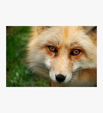 What a Fox!  Photographic Print