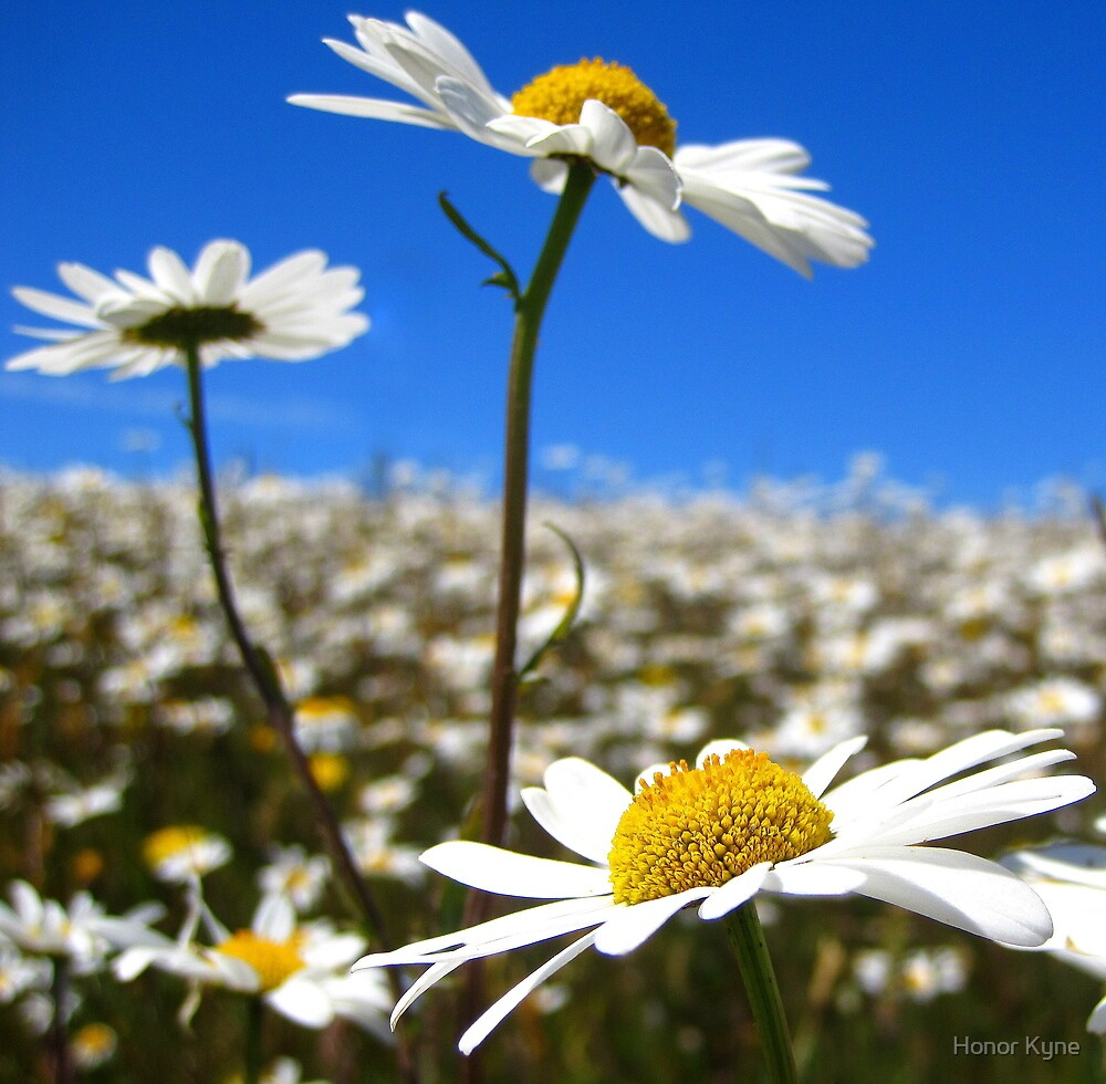 Depth of a Daisy Field by Honor Kyne
