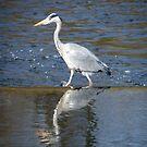 Grey Heron... by eithnemythen