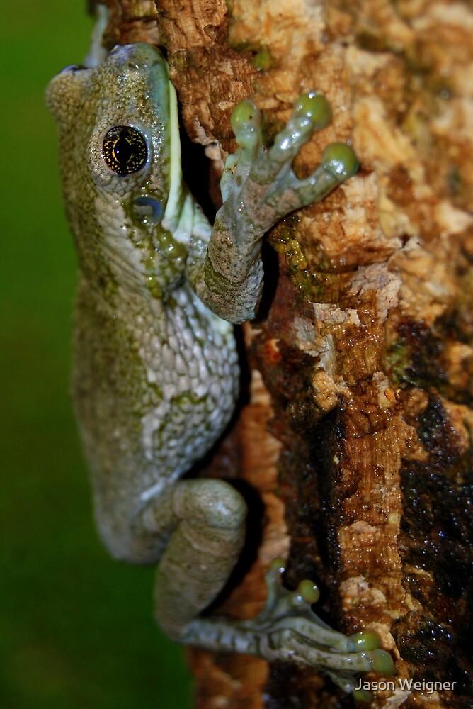 Common Milk Treefrog (Trachycephalus venulosa) - Bolivia by Jason Weigner