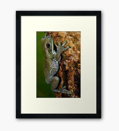 Common Milk Treefrog (Trachycephalus venulosa) - Bolivia Framed Print