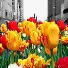 Tulips in Spring by Missy Yoder