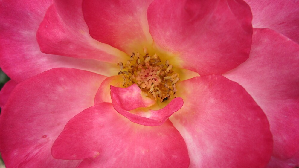 Inside of a Rose by Sherry Freeman