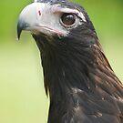 Hawk eye - wedge tail eagle by Jenny Dean