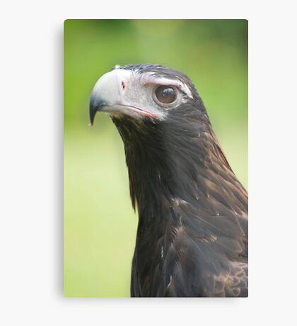 Hawk eye - wedge tail eagle Metal Print