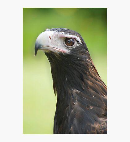 Hawk eye - wedge tail eagle Photographic Print