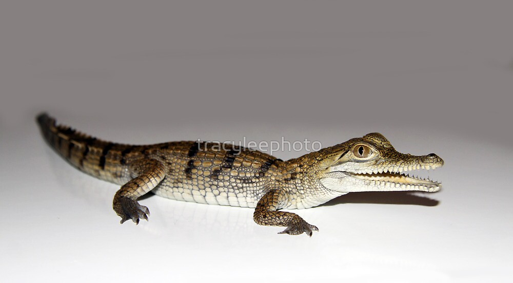 Quot Baby Freshwater Croc Quot By Tracyleephoto Redbubble
