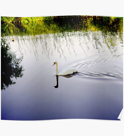 White Swan in colour image. Poster