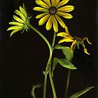 Black-Eyed Susan by Barbara Wyeth