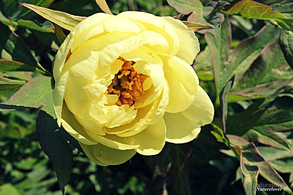 Yellow Tree Peony by naturelover