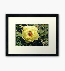 Yellow Tree Peony Framed Print