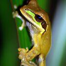 Masked Treefrog (Smilisca phaeota) - Costa Rica by Jason Weigner