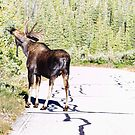 Bull Moose Munching in The Road by Bo Insogna