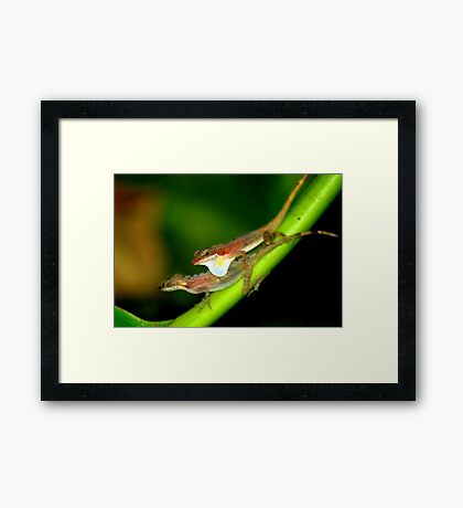 Slender Anoles (Norops limifrons) - Costa Rica Framed Print