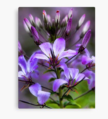 Cleome - Purple Queen Canvas Print