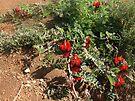 Desert Flowers... Broken Hill by Juilee  Pryor
