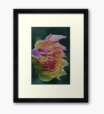 yellow and pink dahlia Framed Print